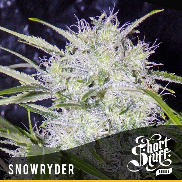 Shortstuff seedbank Snowryder Autoflowering seeds