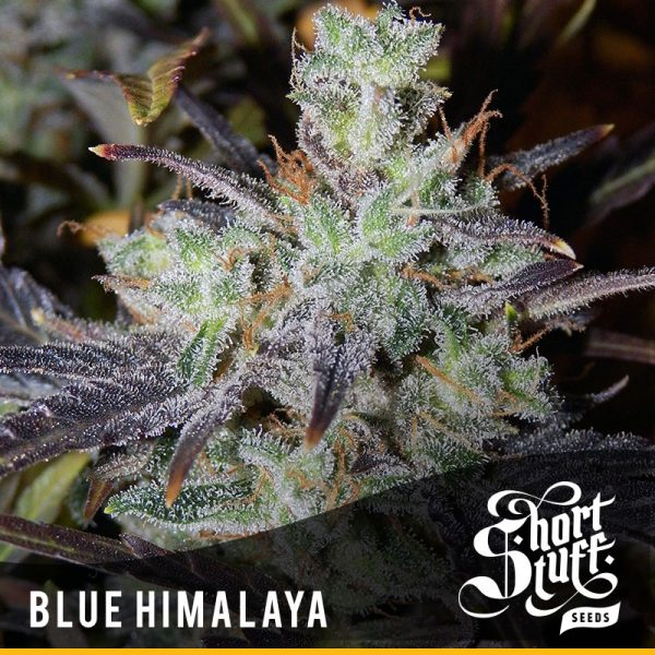 Shortstuff seedbank Blue Himalaya Autoflowering seeds