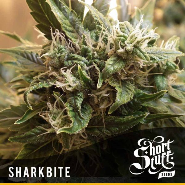 Shortstuff seedbank sharkbite autoflowering seeds