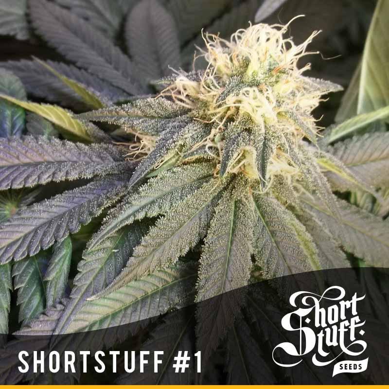 Shortstuff seedbank Shortstuff#1 autoflowering seeds