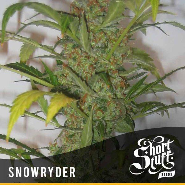 Shortstuff Seedbank Snowryder Autoflowering cannabis seeds