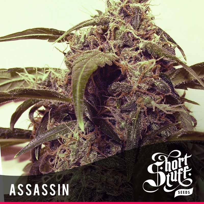 Shortstuff Seedbank Auto Assassin Cannabis Seeds