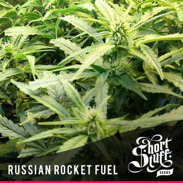 Shortstuff Seedbank Russian Rocket Fuel autoflowering seeds
