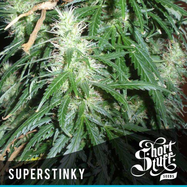 Shortstuff Seedbank Super Stinky Autoflowering seeds