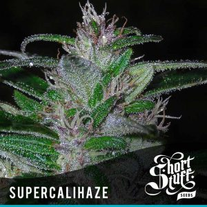 Shortstuff Seedbank Super Cali Haze Autoflowering seeds