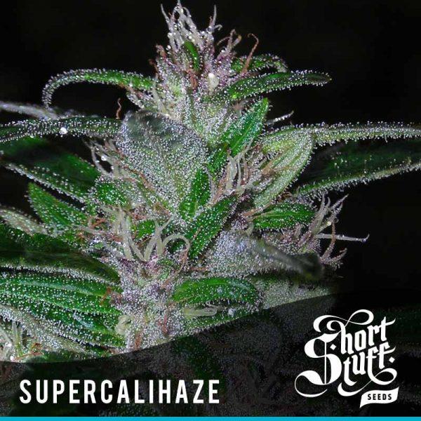 Shortstuff Seedbank Super Cali Haze Autoflowering seeds