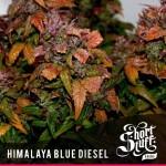 Shortstuff Seedbank Himalaya Blue Diesel Autoflowering seeds