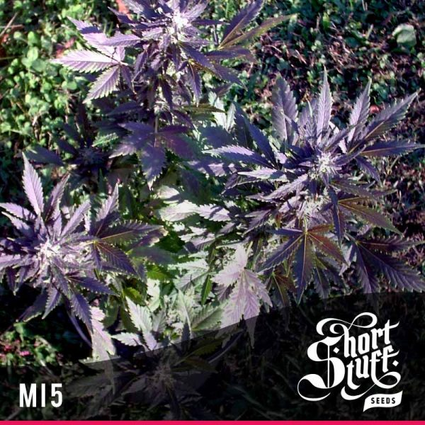 Shortstuff Seedbank Mi5 Autoflowering seeds