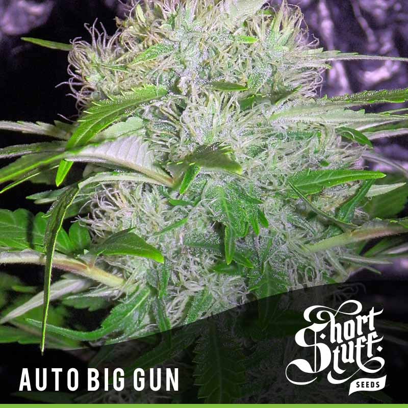Shortstuff Seedbank Auto Big Gun Cannabis Seeds