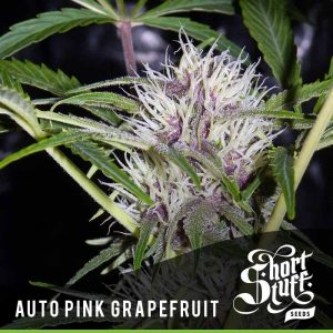 Shortstuff Seedbank Auto Pink Grapefruit Cannabis Seeds