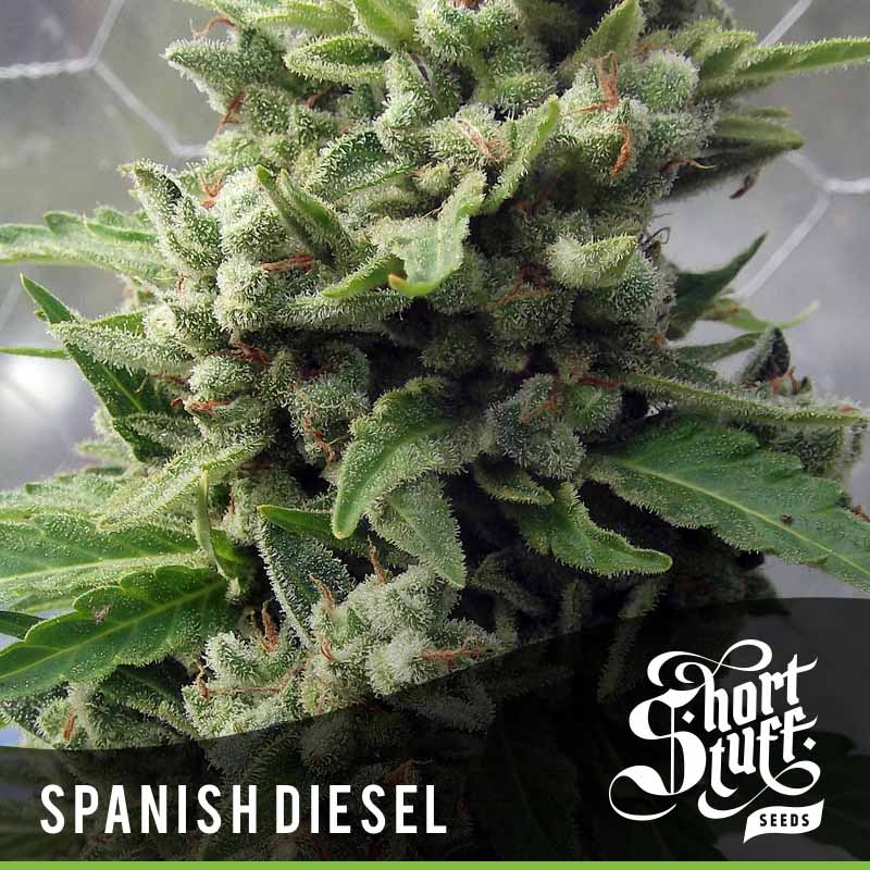 Shortstuff Seedbank Auto Spanish Diesel Cannabis Seeds
