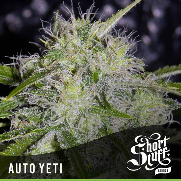 Shortstuff Seedbank Auto Yeti Cannabis Seeds