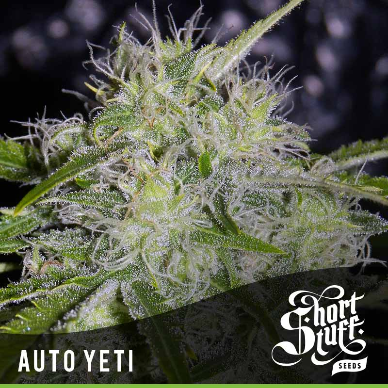 Shortstuff Seedbank Auto Yeti Cannabis Seeds