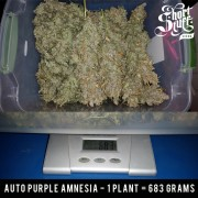 Auto purple amnesia world record auto