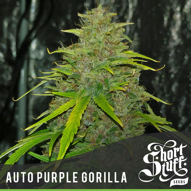 Auto Purple Gorilla - Shortstuff Seeds